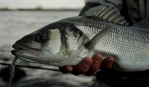 ribolov-brancina-slovenija